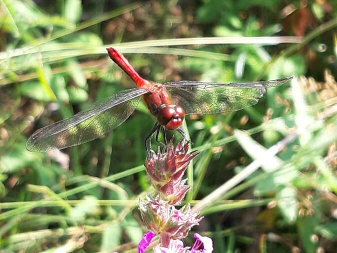 Ur-insektet: På nært hold, når maskene i de flortynne vingene synes, er det lett å se at øyenstikkere er vakre insekter.