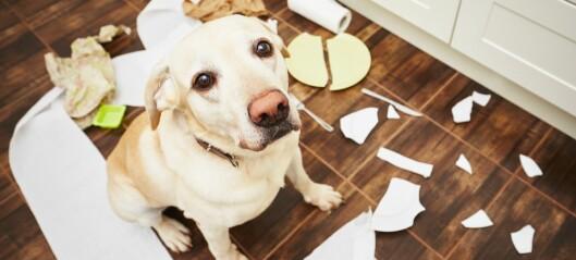 Hunder blir mer ulydige når de blir ungdommer