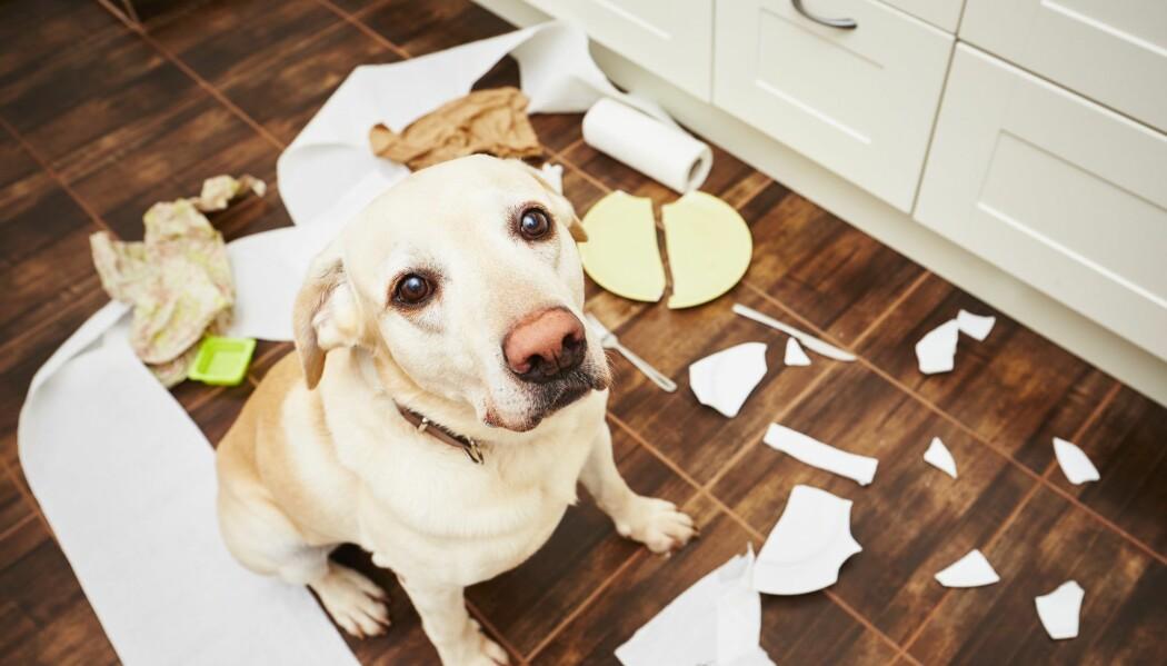 Når hunden er blitt ungdom, kan hundeeiere merke at den søte hvalpen ikke er så lydig lenger.