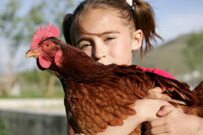 Flere studier har tidligere vist at barn som vokser opp på landet, har mindre allergi enn barn i byene. Men en ny undersøkelse fra Aarhus universitet tyder på at også voksne allergikere kan ha nytte av å oppholde seg på en bondegård. (Foto: iStockphoto)