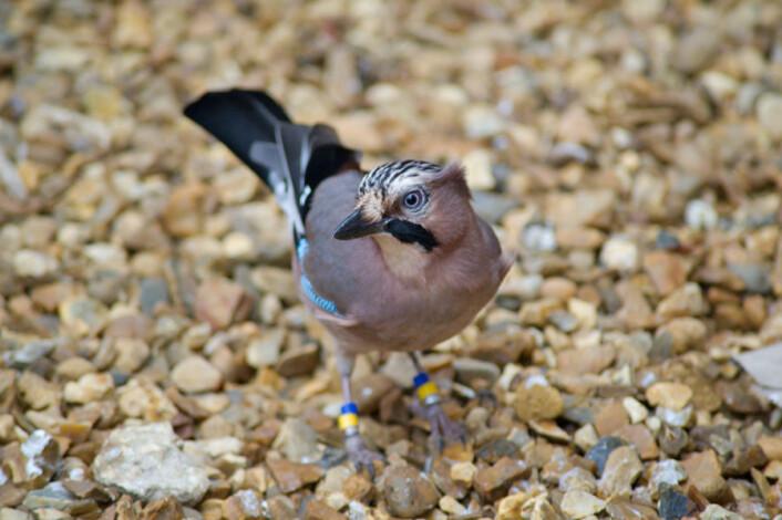 Nøtteskriker er i likhet med andre kråkefugler smarte. De kan planlegge neste dags lønjs, viser forskning ved prestisjetunge Cambridge University. (Foto: Julia Leijola)