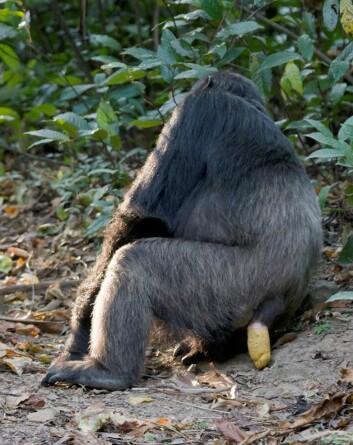 Når sjimpanser og andre aper gjør fra seg, kan man ofte finne frø etter middagen deres i restene. Frøene har ofte gode groforhold i den naturlige gjødselen. (Foto: Ikiwaner/Wikimedia Creative Commons)