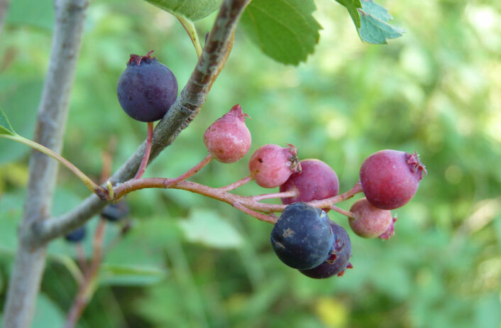 Disse bæra blir mat for bamsen, som spiser alt den kan i på seinsommeren for å gjøre seg klar til å gå i hi. På norsk heter busken taggblåhegg. (Foto: Oregon State University)
