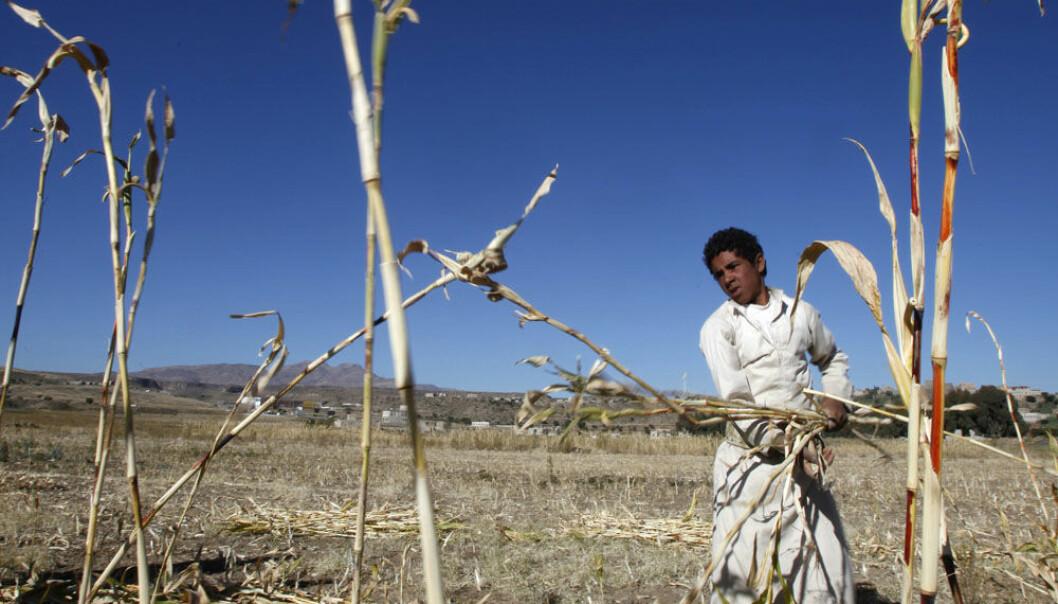 En landbruker høster fôr til dyra på en åker i nærheten av Sanaa i Jemen. Landet har slitt med stadig tørrere klima magre avlinger. Khaled Abdullah, Reuters