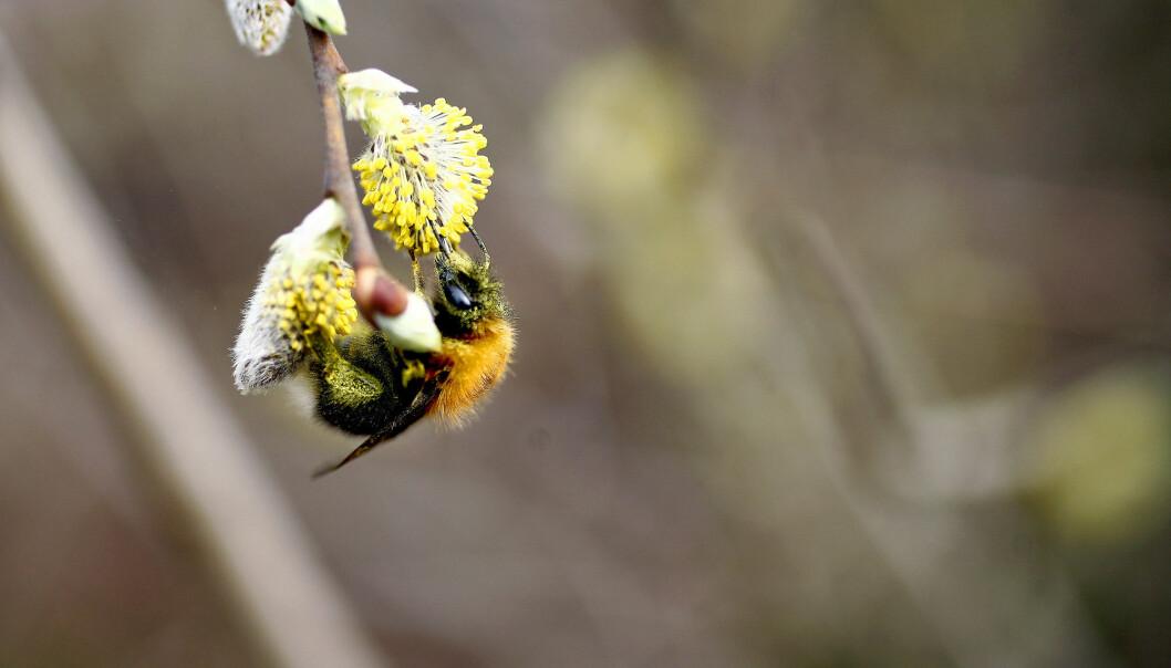 Bien er en av menneskenes beste venner. Uten deres pollinerende evner vil mye av matproduksjonen være tapt.