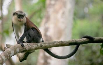 Forskerne studerte områder i naturreservater ikke langt fra grensa mellom Nigeria og Kamerun. Var det få aper i et område, var det færre fruktbærende trær der også. (Foto: CERCOPAN/Wikimedia Commons)