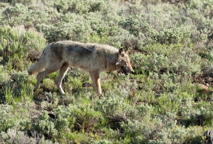Ulv i Yellowstone nasjonalpark, som nå har en levedyktig bestand av ulv. Det har påvirket hele økosystemet i nasjonalparken. (Foto: iStockphoto)