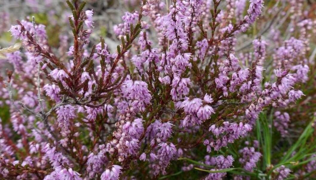 Røsslyng (Calluna vulgaris) er den dominerende og karakteristiske arten i kystlyngheiene. Røsslyngplanta produserer tusenvis av frø årlig som lagres i det øverste jordsmonnet i kystlyngheia i lang tid. Marianne Mork