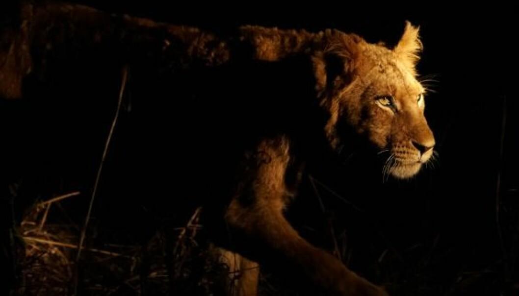 Løvinne på nattlig jakttokt (Foto: Istockphoto)
