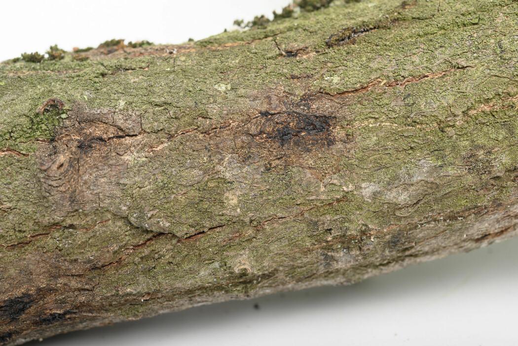 Spor etter blødende sår i barken på greinprøven som kom til Planteklinikken på NIBIO for bakterieanalyser.