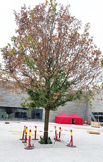 Ved ny inspeksjon 25. september var treet helt klart sykere.