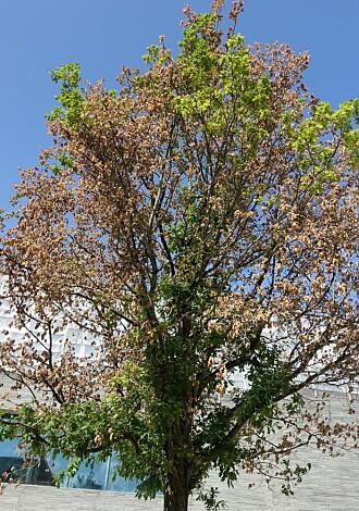 Ved inspeksjon 20. august var treet sterkt skada, men fortsatt med noen grønne blader i toppen.