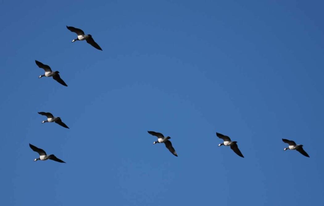 Den karakteristiske V-formasjonen, eller gåseplogen, gjør at gjessene sparer energi under trekket. Hver fugl utnytter oppdriften som skapes av fuglen foran. Gjessene bytter på å være i front og faller tilbake når de blir slitne. Gamle og unge fugler flyr sjelden først.