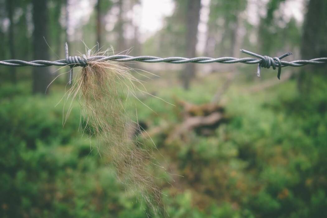 Bruk av hårfeller er en effektiv metode for å samle inn DNA fra brunbjørn.