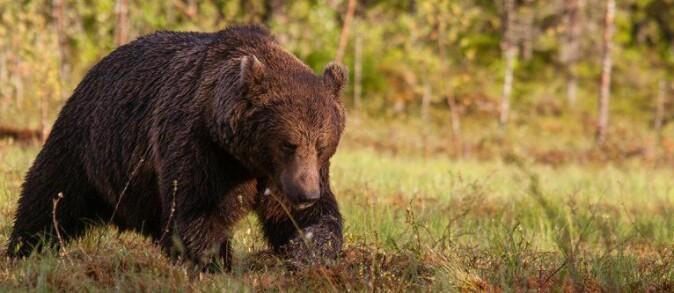 Brunbjørn (Ursus arctos).