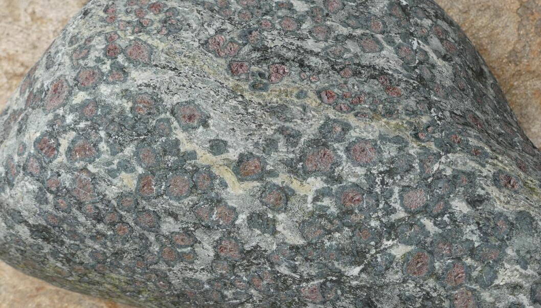 Korona av amfibol rundt mineralet granat. Granaten opptrer som små røde kuler, og den svarte amfibolen dannes under omvandling på korngrensene rundt granat. Prøven er fra Hustadvika i Møre og Romsdal. (Foto: Ane K. Engvik)