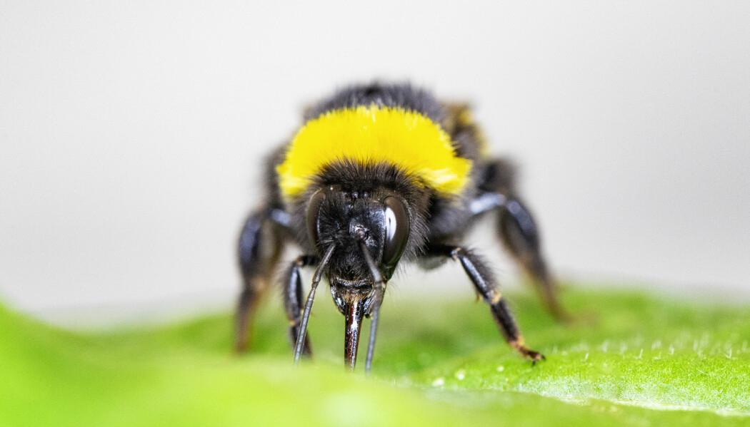 Forskerne tror ikke biene spiser av bladene. de bare klipper hull!
