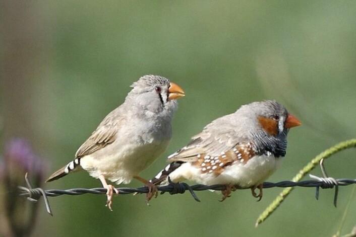 Fulle mennesker synger ofte høyt, men sjelden nydelig. Hvordan er det med finkene? (Foto: Wikipedia Commons)
