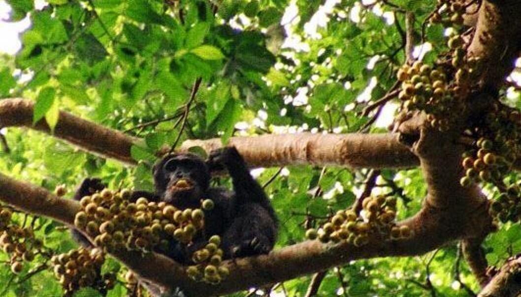 Sjimpanser og andre store aper spiser frukt, og sprer frøene via avføringen. Så når apene forsvinner, blant annet på grunn av jakt, er trærne også i fare. Drrobert/Wikimedia Creative Commons