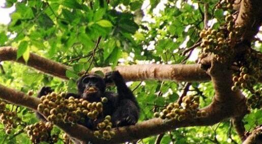 Apejakt ødelegger regnskogens frukt