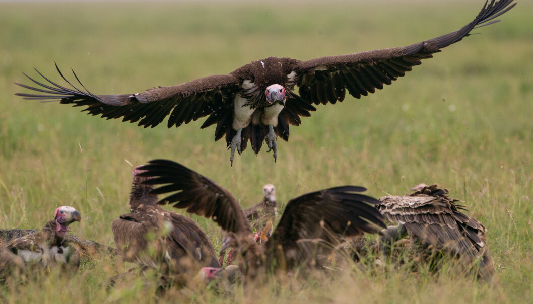 Lappet-faced vultures about to settle on a cadaver