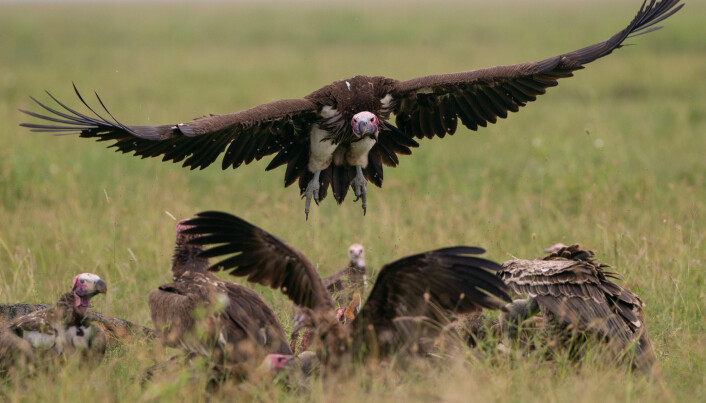 Vultures use hearing, not just vision, when looking for food