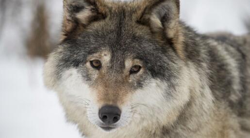 Nye ulvevalper fra elleve kull denne vinteren