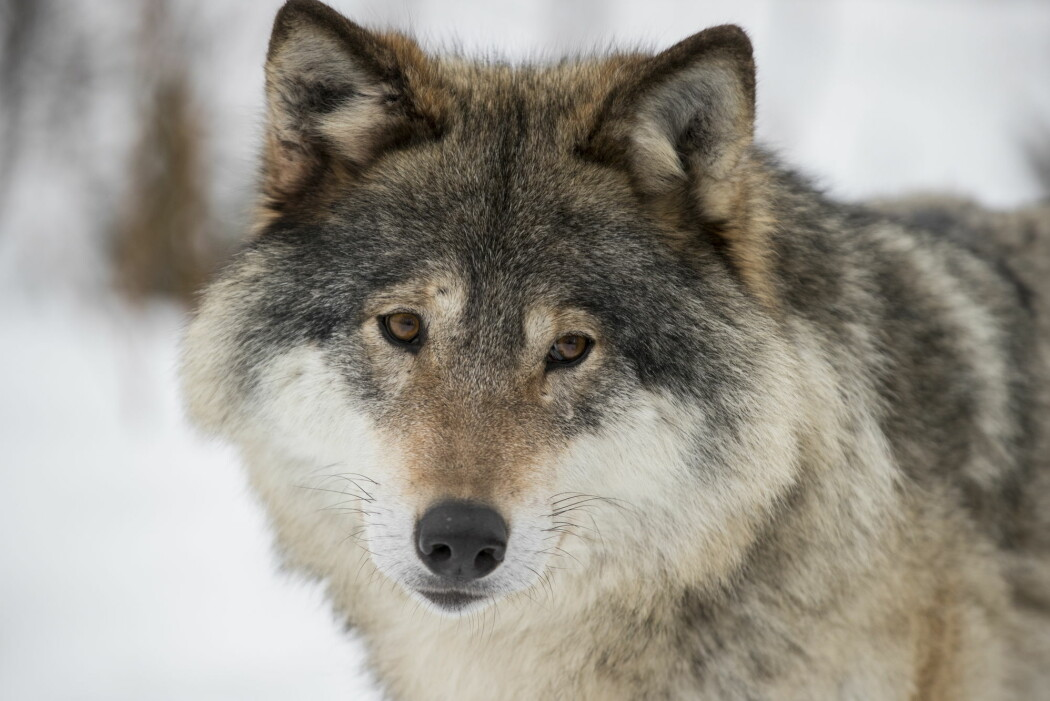 En hannulv fra parken i Langedrag. Blant vill ulv ble det i vinter registrert totalt mellom 103–106 ulver i Norge og 11 valpekull.