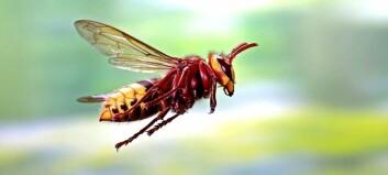Hvorfor kom monstervepsen tilbake til Norge?