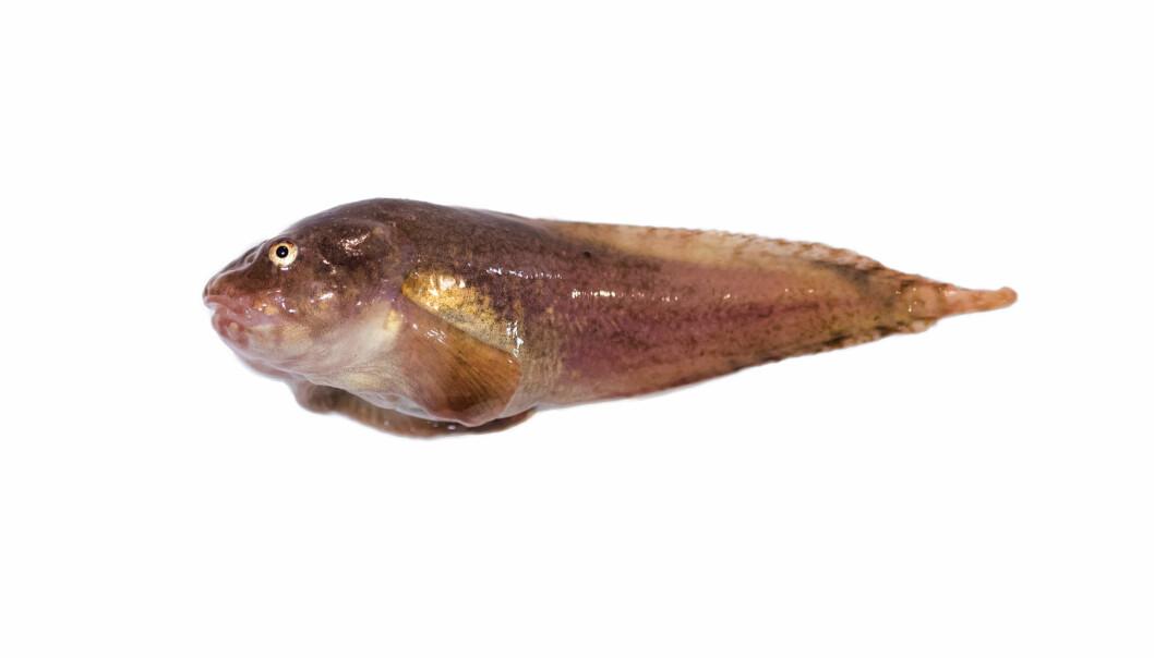 Liparis bathyarcticus, pukkelringbuk, er en fiskeart som finnes i Arktis, men ikke i de varmere delene av Barentshavet eller i Nord-Norge. Som mange andre virkelig Arktiske fiskearter vokser den seg ikke veldig stor. Den er vanligvis under 25 cm lang, og hodet utgjør nesten en tredjedel av størrelsen.