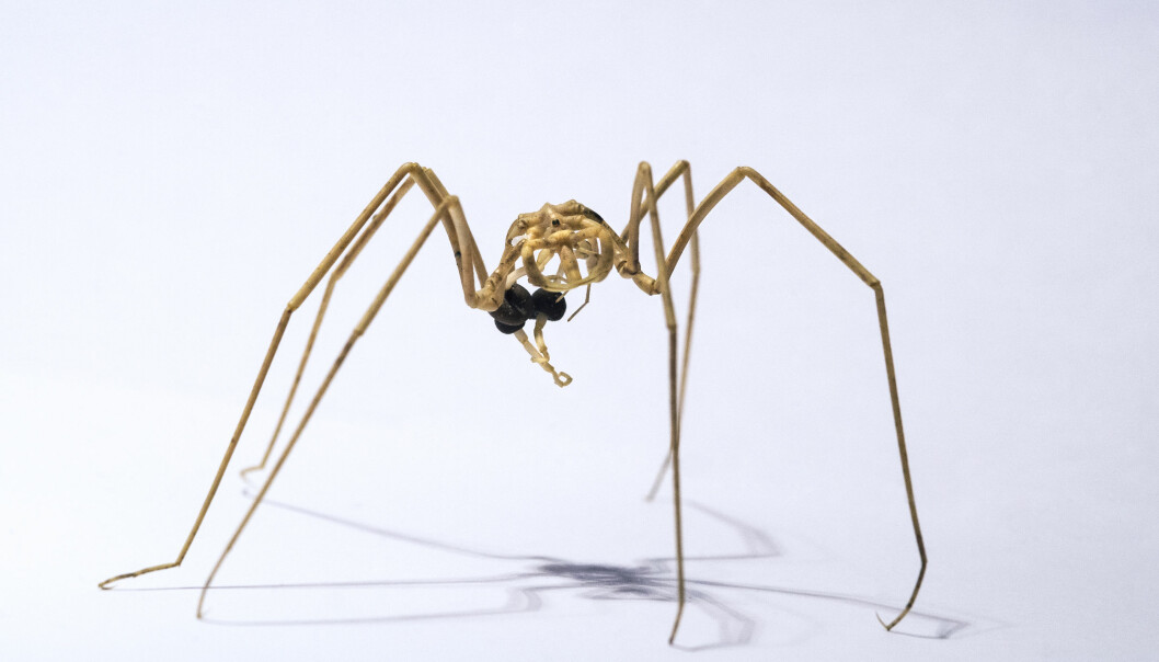 Nymphon stroemi er en havedderkopp. Kroppen hos denne gruppen dyr er så smal at noen av organene er plassert i beina i stedet. Det er hannene som bærer de befruktede eggene (den brune klumpen på bildet) til de klekkes.