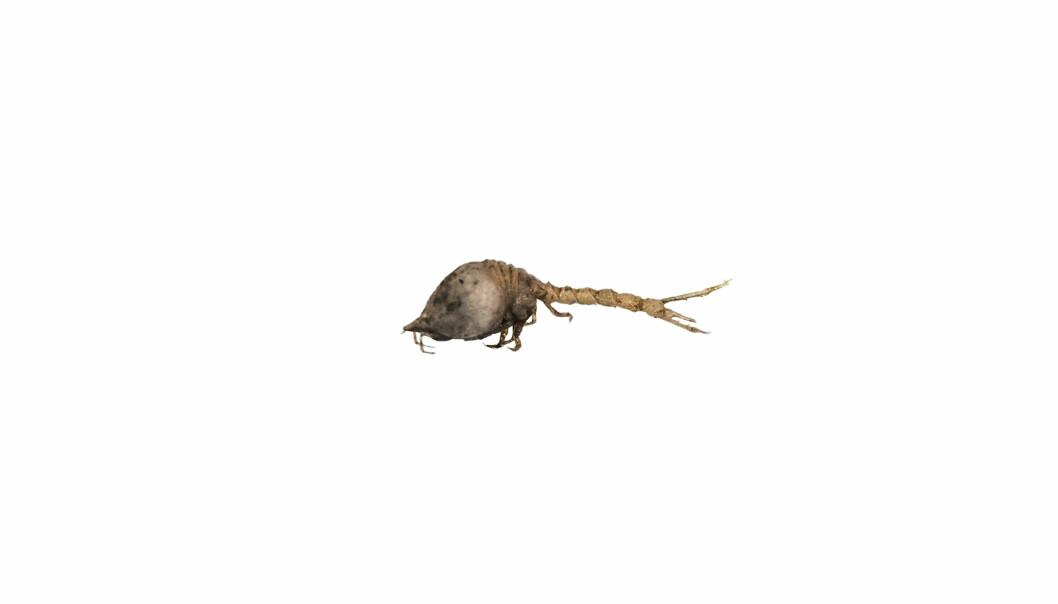 Diastylis goodsiri er en art halekreps som er omtrent 1 cm lang, og som lever på bløtbunn, særlig i nordlige områder, inkludert langs Norskekysten, Svalbard og i de sentrale delene av Barentshavet. Dette er en av de større artene i denne gruppen, og ved oppdagelsen av arten på 1800-tallet trodde man først det var en babyreke. Nå kjenner man til over 1500 arter globalt.
