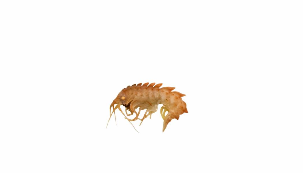 Epimeria loricata er en iøyenfallende tangloppe som ble beskrevet av den norske marinbiologen G. O. Sars så tidlig som i 1879. Den forekommer i den nordlige Nord Atlanteren og inn i det Atlantiske Arktis, inkludert Barentshavet. Mange andre tanglopper er mindre karakteristiske av utseende og nye arter beskrives regelmessig i denne gruppen krepsdyr i havene globalt.