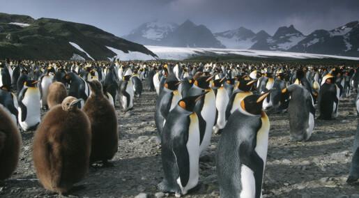 Pingviner var klima-verstinger