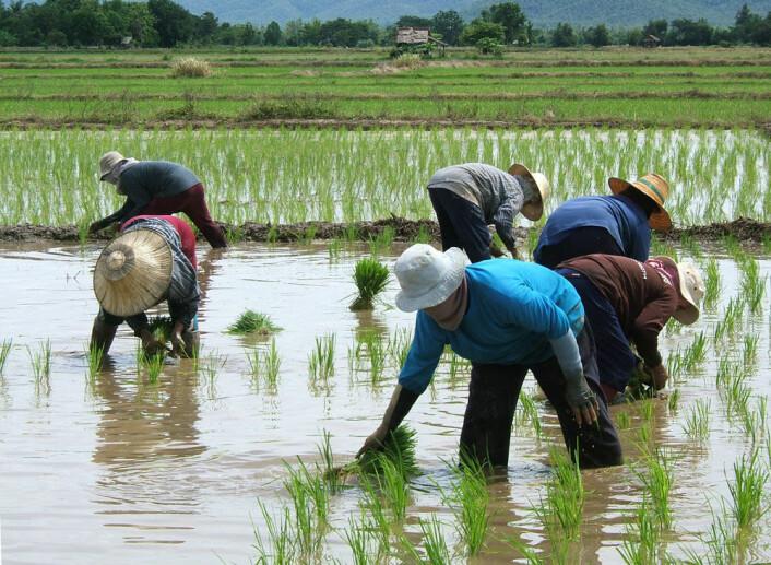 En gruppe kvinner planter ris. (Illustrasjonsfoto: Microstock)