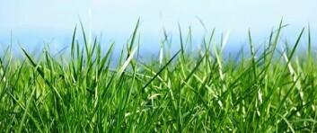 Forskerne jobber frem nye grasarter som tåler frost og hyppig høsting. (Foto: Shutterstock)