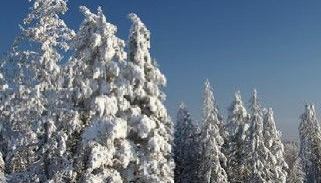 Trær i Norge under siste istid