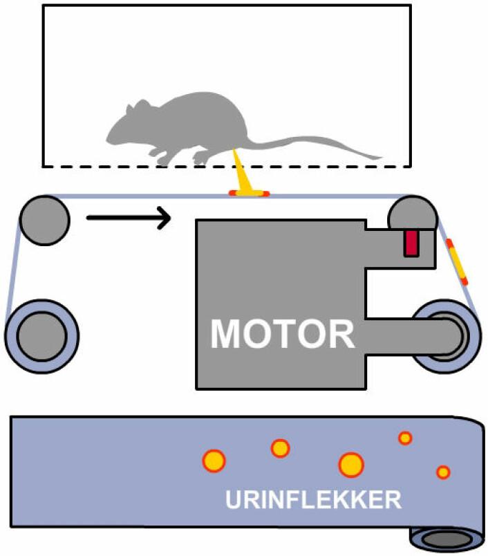 Automated Voided Stain on Paper (aVSOP): Slik blir urinflekkene fra musene samlet på en strimmel som glir forbi. Strimmelen inneholder et pigment som farges sterkt rosa av urinen. (Foto: (Figur: forskning.no, etter opprinnelig figur fra artikkel i Nature Communications))