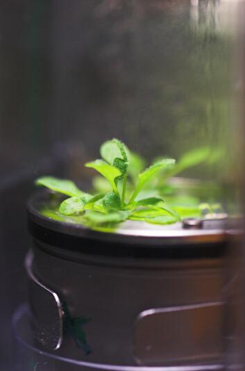 Vårskrinneblom, Arabidopsis thaliana, brukes av forskere over hele verden, og på romstasjonen. (Foto: N-USOC/B. Pedersen)