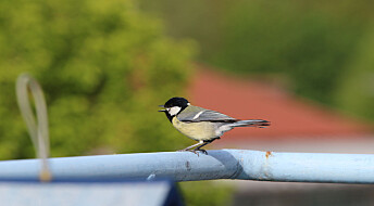 Fugler i byen trenger ekstra mat. Derfor bør vi mate dem med melormer, ifølge ny studie.