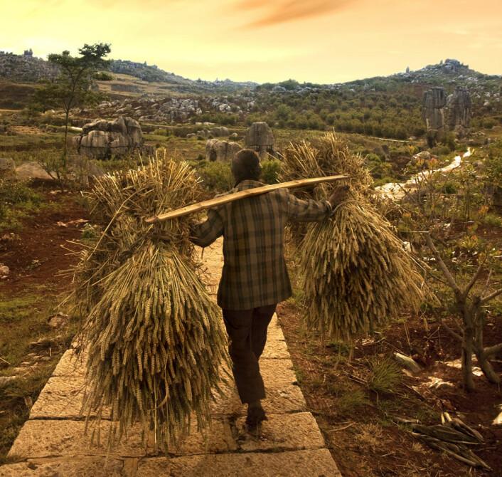 Innhøsting av hvete. I noen regioner av Kina dominerer hveten. Andre steder dyrkes mest ris. (Illustrasjonsfoto: Microstock)
