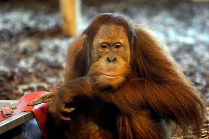 Faktisk stammer vi ikke fra apene. Vi har en felles stamfar med apene, som senere er blitt til både orangutanger og mennesker. (Foto: Colourbox)