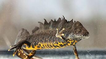 Storsalamanderen er liten og sårbar