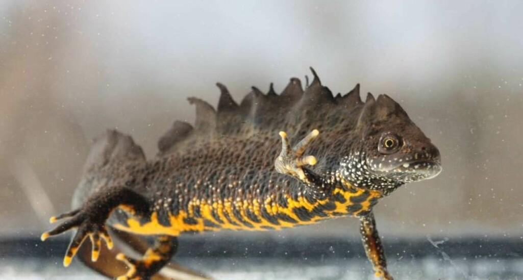 Storsalamander hann. Ofte finn vi salamander i tun- eller vatningsdammar og skogsdammar. Dei er rovdyr som et insekt, meitemark og andre småkryp.