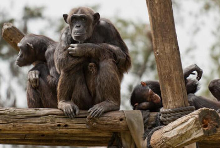 Darwins teori om at menneskene er i slekt med apene har ført til protester fra både kirken og folket opp gjennom tidene. Nå tror derimot de fleste nordmenn på Darwins evolusjonsteori som første gang ble publisert i 'Artenes opprinnelse' i 1859. (Foto: Colourbox.no)