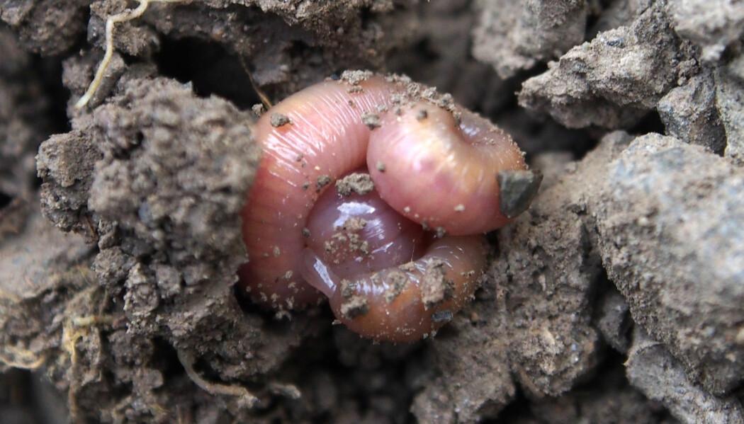 Meitemarken blander trekker organisk materiale ned i jorda. Når det er vinter eller tørt i jorda, ruller den seg sammen til en ball.