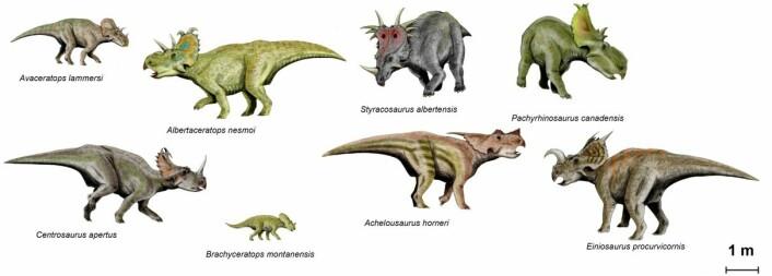 Her kan du se hvor variert Ceratopsia-slekta var, både i størrelse og utseende.  (Foto: (Illustrasjon: Nobu Tamura))