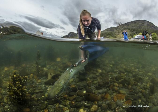 Tekniker Sofie Knutar frå Havforskingsinstituttet slipper ut laks i Etne.