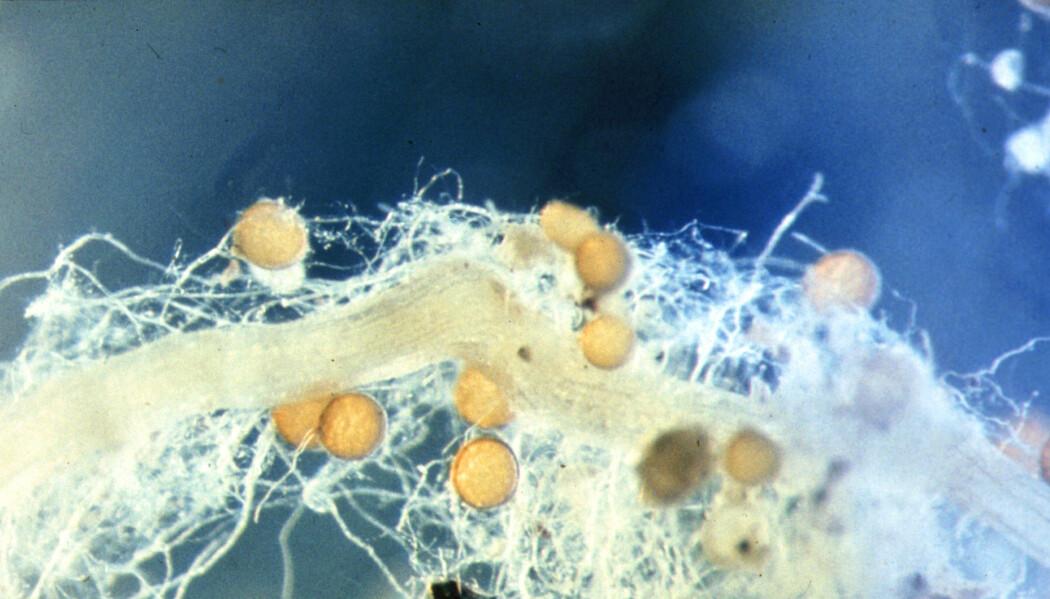 Kløver-rota i midten er omgitt av et nettverk av tynne sopptråder. De gule kulene er soppens sporer.