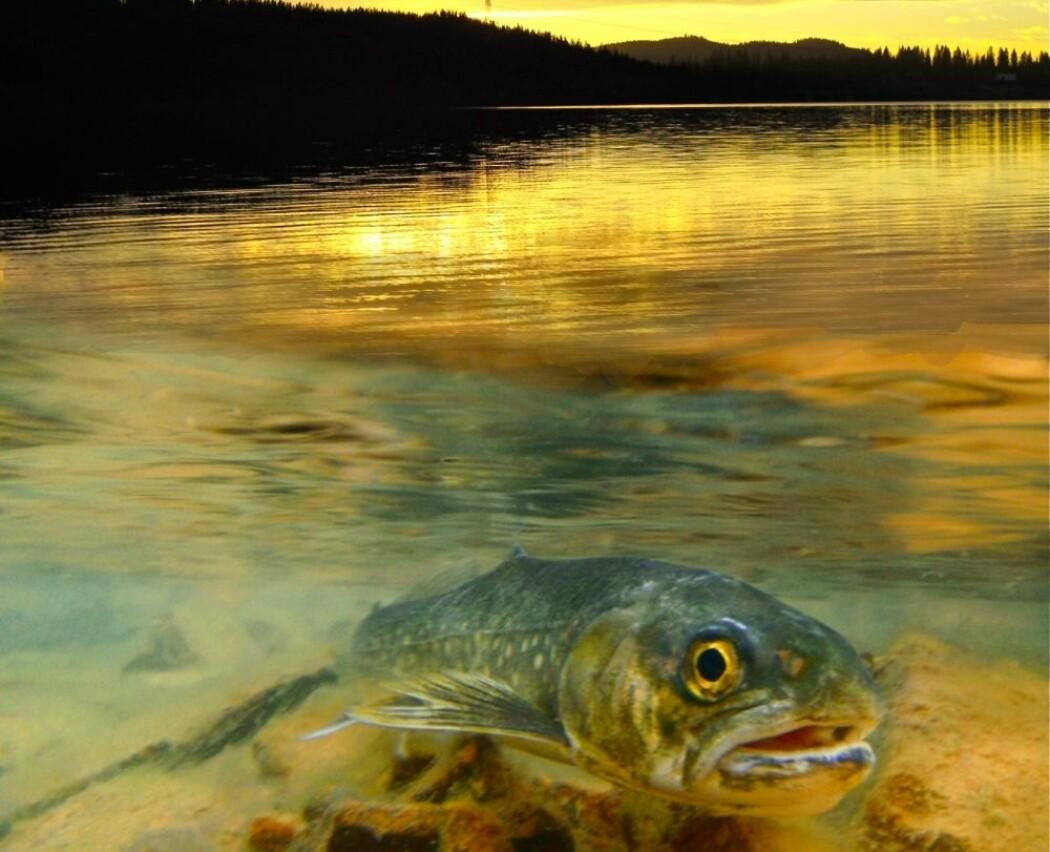 Innsjøer blir stadig brunere, men fisken bryr seg lite